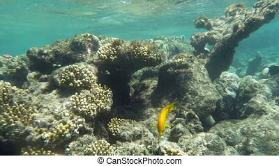 Yellow fish inhabiting coral reed in Red Sea - Slow motion...