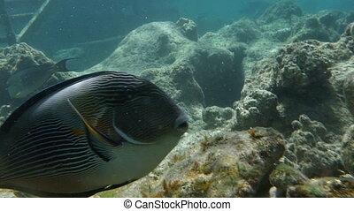 Sea dweller, sohal surgeonfish in coral reef - Slow motion...