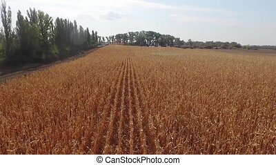 wheat field corn, fresh crop of wheat aerial shot - A wheat...