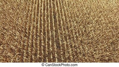 backdrop of ripening ears of yellow wheat field corn on the...