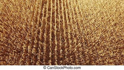 yellow wheat field corn on the sunset Close up aerial shot -...