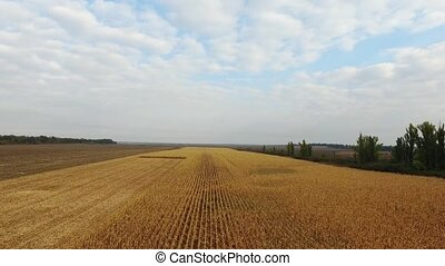 Nature background aerial shot field corn - Nature background...