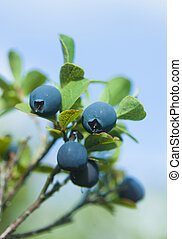 Wild blueberries - Macro of wild blueberries with foliage