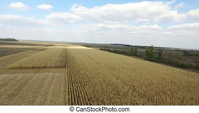 yellow field corn rich harvest, aerial shot - yellow wheat...