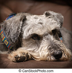 Resting dog - Grey miniature schnauzer dog resting on a...