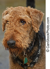 Airedale Terrier Dog Close Up