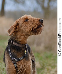 Dog Smelling for Scent - Airedale Terrier dog smelling the...