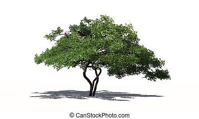lemon tree - isolated on white background