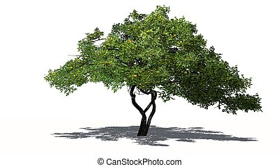 Lemon tree with fruits - isolated on white background