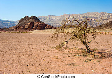 Timna park - Lonely tree in Timna Park in the southern part...