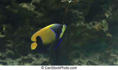 Blue girdled angelfish, Pomacanthus navarchus. Beautifully...
