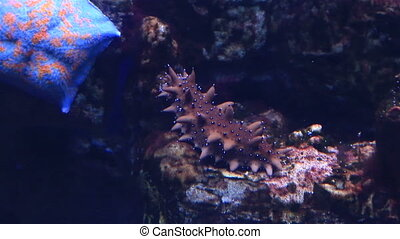 Sea cucumbers are echinoderms from the class Holothuroidea...