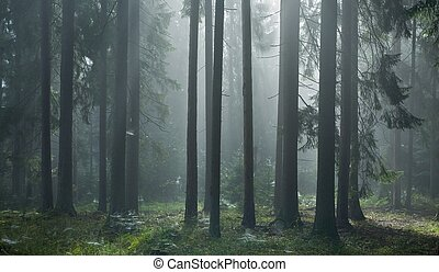 Coniferous trees against light of misty sunrise with spiders web