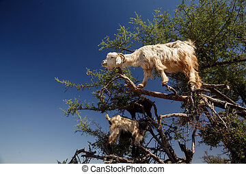 incredible tree-climbing goats - The incredible...