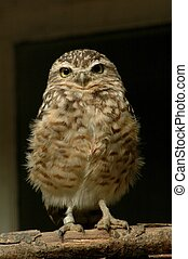 Burrowing Owl (Athene cunicularia) - The small North...