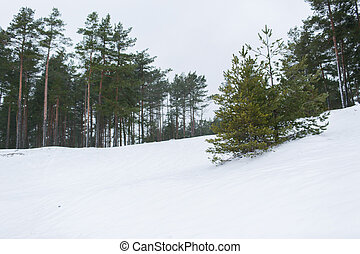 winter spruce forest and snow cowered field - nature, season...