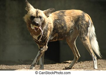 African wild dog Lycaon pictus - An African wild dog eating...