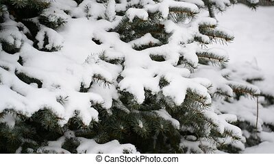 The branches of spruce in snow in at park - The branches of...