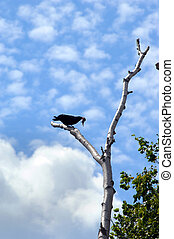 Pecking Order - Black crow perches on tree trunk with...