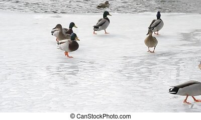 Many wild ducks walk on ice of partly frozen pond