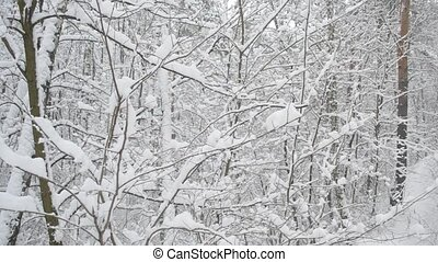 Snowing in forest Heaps of snow sometimes fall down from...