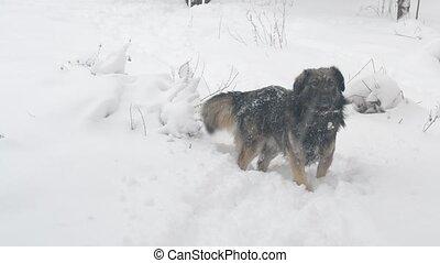 Mongrel dog walks through snowdrift - Active playful...