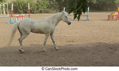 Beautiful White Horse walking on hippodrome