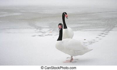 Two black necked swans move their heads up and down - Cygnus...