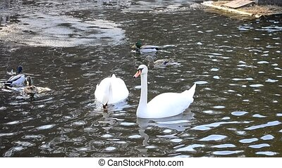 Cygnus olor. Two mute swans playing and biting each other -...