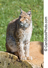 iberian lynx - endangered beautiful lynx pardinus or lynx...