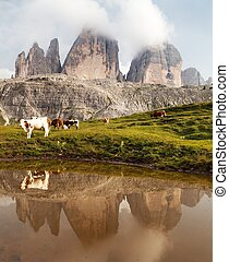 Tre Cime or Drei Zinnen with cows mirroring in lake - view...