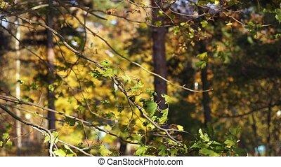 leaves swaying wind - maple leaves leaves swaying wind...