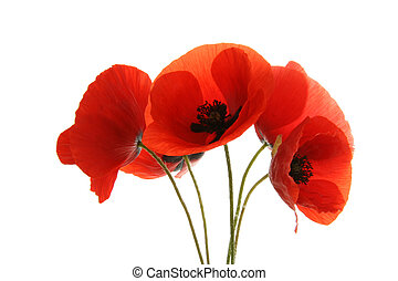 poppies isolated on white background