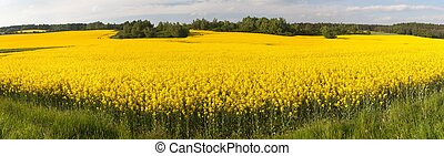 Panoramic view of flowering field of rapeseed - brassica...