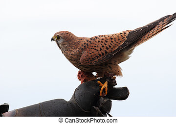 common kestrel Falco tinnunculus - common kestrel perched on...