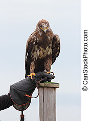 Aquila nipalensis - steppe eagle, Aquila nipalensis bird of...