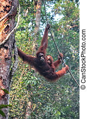 Female Borneo Orangutan with its cub, hanging at the Semenggoh Nature Reserve in Kuching, Malaysia.