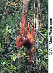 Female Borneo Orangutan with its cub, hanging and eating at...