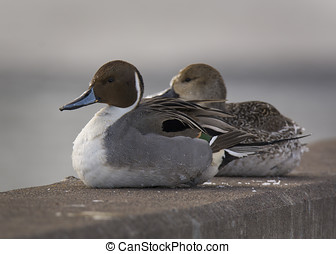 Pair of Northern Pintails - A beautiful pair of Northern...