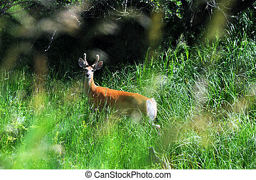 Camoflauged by Grass - Alert to danger, small buck pauses in...