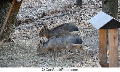 Dolichotis patagonum. Two patagonian maras walk and eat in...