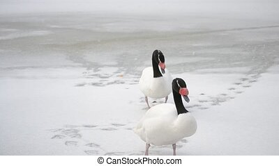 Two black necked swans walk on snow out of frame - Cygnus...