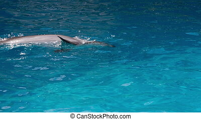 Dolphins Swim in the Pool - cheerful dolphin in the...