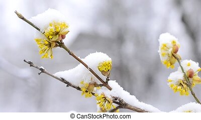 Snow falls on beautiful yellow Cornelian cherry flowers -...