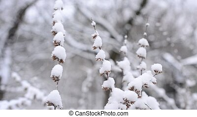 Melissa officinalis Snow falls in winter on lemon balm -...