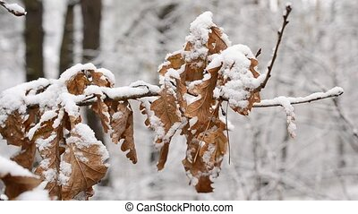 Snow falls in winter on dry foliage of English oak blown by wind