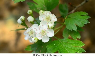 Close-up of common hawthorn flowers stirred by wind in...