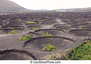 Vineyards on Lanzarote - Vineyards on lanzarote covered with...
