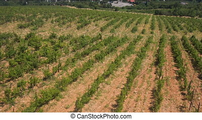 Flight Over Grape Fields and Vineyards - Flight Over Crimean...