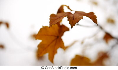 Yellow Leaves on Trees in Autumn. Translation Focus